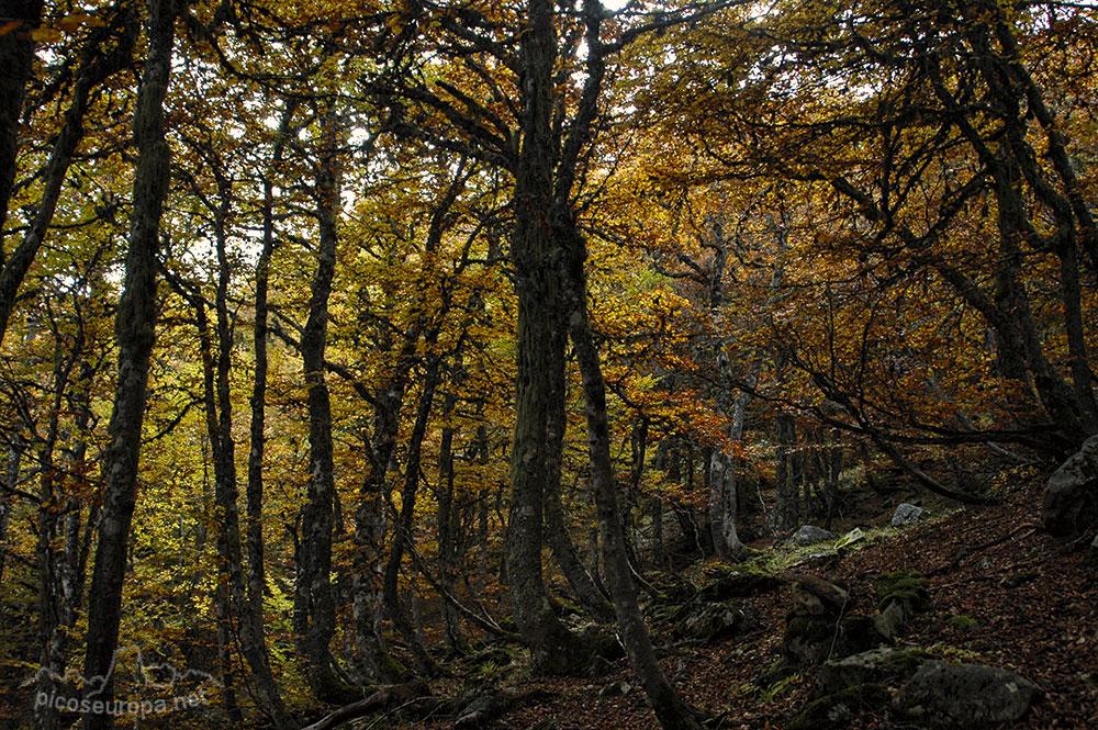 El bosque, camino del Pico Jario, Sajambre, Picos de Europa, León
